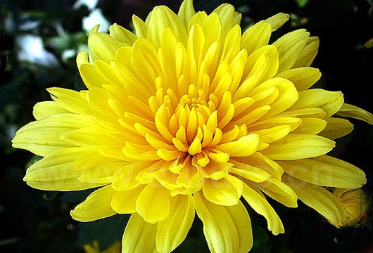 A group of people are appreciating chrysanthemum in the Garden in this festival.