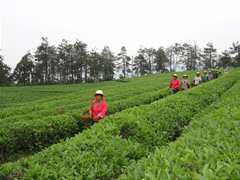Oolong Tea manufacturer